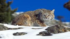 Bobcat Wallpaper 27547
