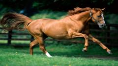 Brown Horse Pictures 32528