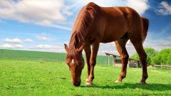 Brown Horse Wallpaper 32527