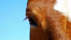Brown Horse Wallpaper HD 32530