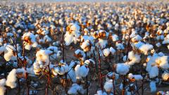 Cotton Field 32401