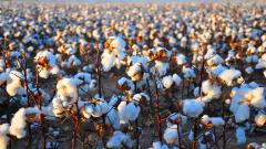 Cotton Field 32401