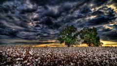 Cotton Field Wallpaper 32399