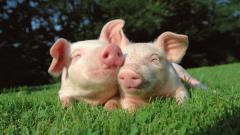 Cute Pig Wallpaper 24430