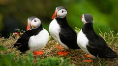 Cute Puffin Wallpaper 24805