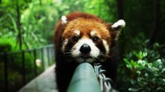 Cute Red Panda Wallpaper 27523