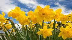 Daffodils Pictures 20839