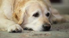 Dog Rest Wallpaper 43878