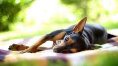 Dog Rest Wallpaper HD 43876