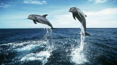 Dolphins Wallpaper 14691