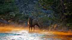 Elk Wallpaper 39373