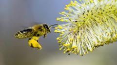 Free Bee Wallpaper 20990