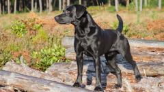 Free Black Lab Wallpaper 35448