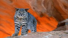 Free Bobcat Wallpaper 27548