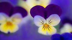 Free Pansies Wallpaper 31066