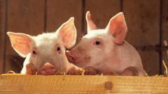 Free Pig Wallpaper 24433
