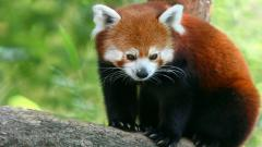 Free Red Panda Wallpaper 27527