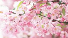 Free Sakura Wallpaper 20966