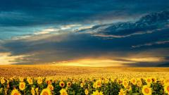 Free Sunflower Field Pictures 32398
