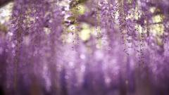 Free Wisteria Wallpaper 24442