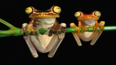 Frogs 13126