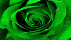 Green Roses 31378