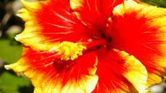 Hibiscus 12766