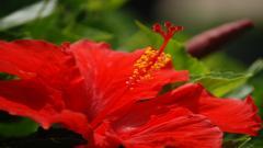 Hibiscus 12767