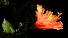 Hibiscus 12769