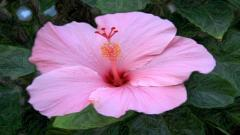 Hibiscus 12780