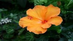 Hibiscus 12783