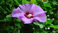 Hibiscus 12784