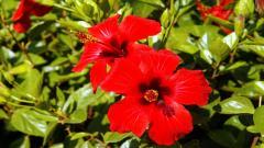 Hibiscus 12785