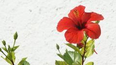 Hibiscus 12786