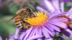 Honey Bee Wallpaper 20999