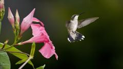 Hummingbird Wallpaper 19955
