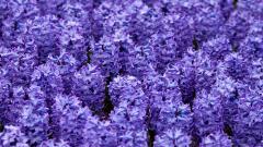 Hyacinth 20164