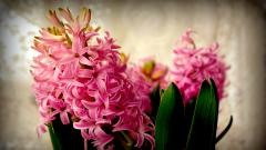 Hyacinth Wallpaper 20160
