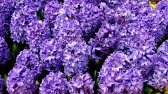 Hyacinth Wallpaper 20165