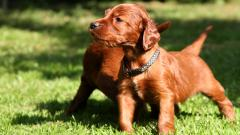 Irish Setter Puppies 31290
