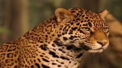 Jaguar 12803