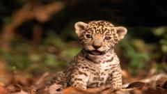 Jaguar 12804