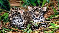 Jaguar 12805