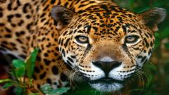 Jaguar 12810