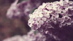Lilac 20181