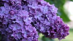 Lilac 20182