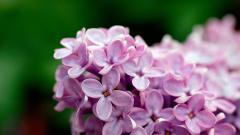 Lilac 20184