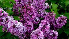 Lilac 20186