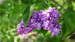 Lilac 20187