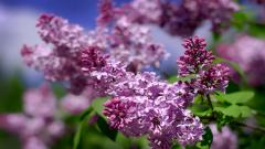 Lilac 20193